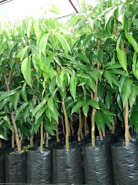 mauritius-litchi-trees-for-sale